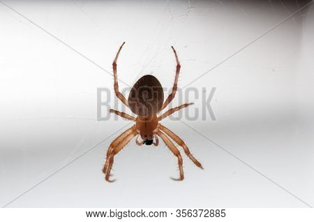 Spider Eating A Fly On His Web. European Garden Spider, Diadem Spider, Cross Spider , Crowned Orb We