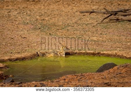 Golden Jackal Or Canis Aureus Watchful While Taking Bath In Waterhole At Ranthambore National Park O