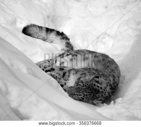 The Snow Leopard Is A Large Cat Native To The Mountain Ranges Of Central And South Asia. It Is Liste