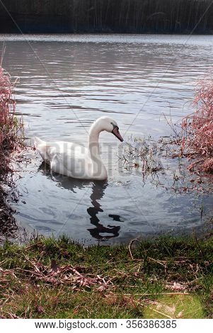 White Swan By The Shore.white Swan By The Shore.  Big Bird Swims On The Surface. Swans Are Birds Of