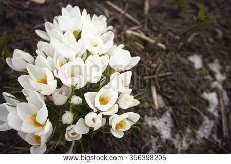 Crocus Chrysanthus - A Field Of White And Purple Crocusses On A Meadow. They Are Still Closed Becaus