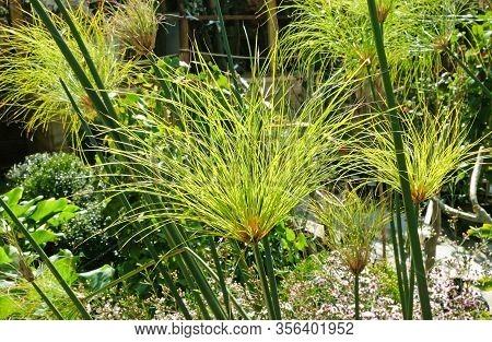 Papyrus Plant In The Sun, Closeup (lat. Cyperus Papyrus)