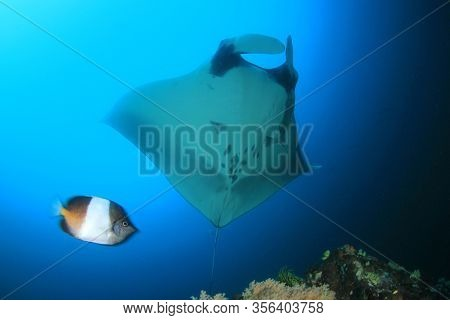 Manta Ray. Scuba diving with manta on coral reef