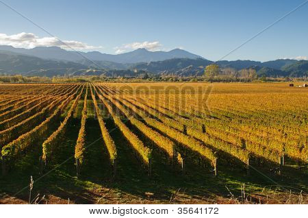View of the vineyards in the Marlborough district of New Zealand's South Island