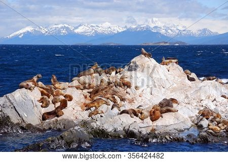 Sea Lions In The Beagle Channel Is A Strait Separating Islands Of The Tierra Del Fuego Archipelago,