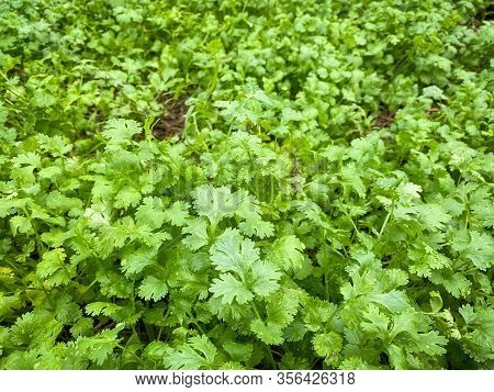 Coriander Growing Up In Farm, Coriander Is Loaded With Antioxidants