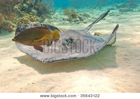 Southern Stingray And Fish