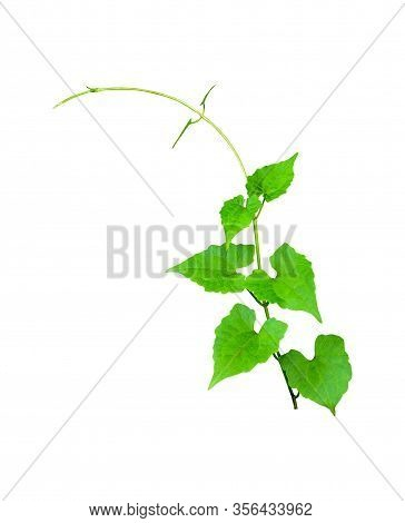 Dark Green Leaves Of Cantaloupe (muskmelon) With Yellow Flowers And Tendrils, Pumpkin Leaf-like Hair