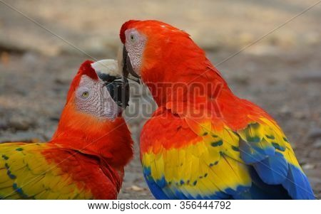 The Scarlet Macaw Is A Large, Red, Yellow And Blue South American Parrot, A Member Of A Large Group