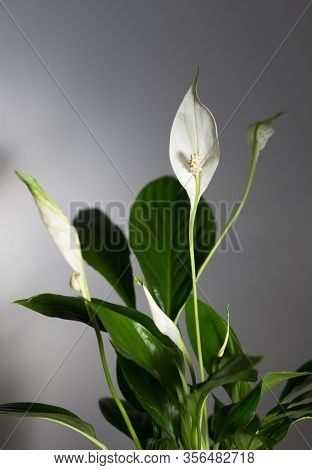 Houseplant Spathiphyllum With White Blossom Flowers Indoor