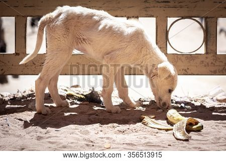 Sad, Neglected, Mistreated Or Abused And Abandoned Juvenile White Stray Dog Looking For Food, And Sn