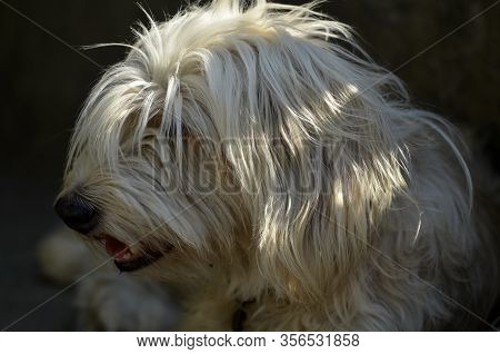 Portrait Of A White Dog With Long Hair. Young Bobtail With His Tongue Hanging Out In The Sun. A Happ