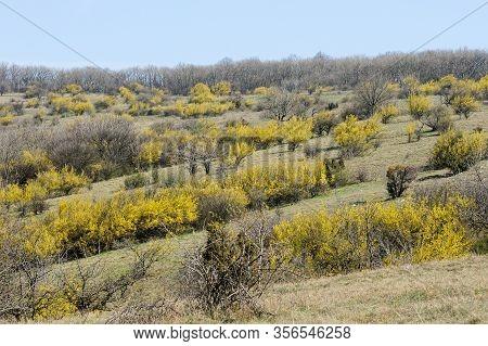 Rows Of Flowering Cornelian Cherry Dogwoods (cornus Mas) On A Sunny Day In Springtime