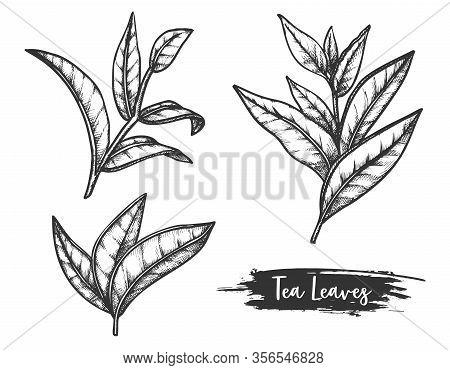 Tea Leaves Sketch, Twig Or Stem Of Ceylon Herb