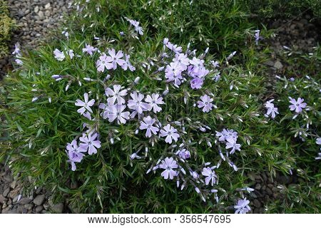 Beginning Of Florescence Of Violet Phlox Subulata In Mid April