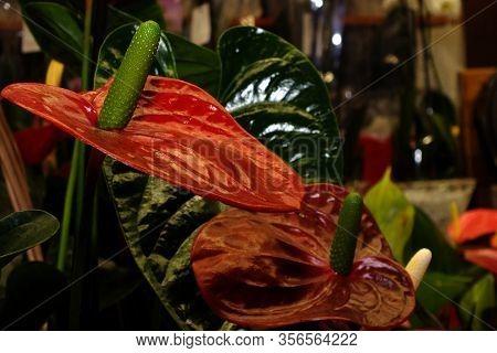 Closeup Shot Of A Large Anthurium Flower Or Pigtail Anthurium Flower And Laceleaf