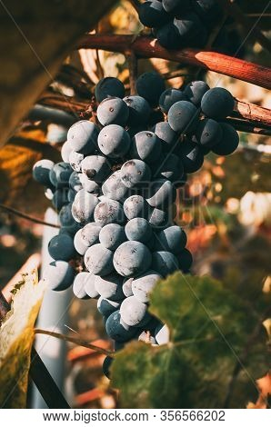 Pinot Noir Or Late Burgundy Blue Grapes On A Background Of Green Grape Leaves In The Summer In The S
