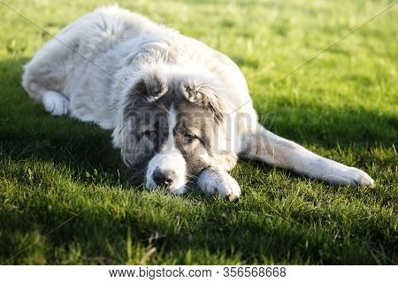 Caucasian Shepherd Dog Is Lying On A Green Grass.  Caucasian Shepherd Dog Is 6 Month