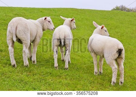 Three Cute White Sheep From Behind With Dirty Butts. Niedersachsen, Germany.