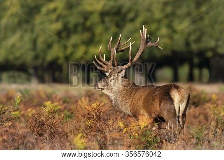 Close-up Of An Injured Red Deer Stag During Rutting Season In Autumn, Uk.
