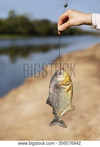Person Holding Piranha On Fishing Line, Pantanal, Brazil.