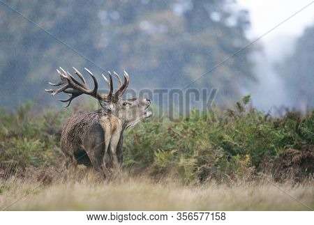 Close-up Of A Red Deer Stag Calling In The Rain During Rutting Season In Autumn, Uk.
