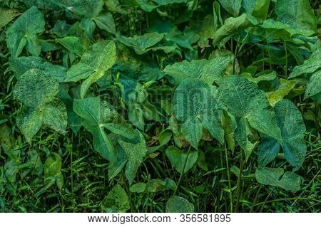 A Grouping Of Broadleaf Arrowhead Plants Growing In Shallow Water At The Wetlands On A Bright Sunny