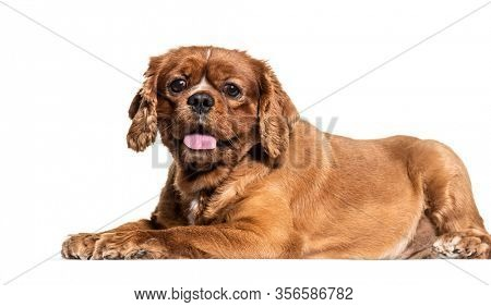 Brown mixedbreed dog lying isolated on white