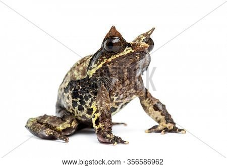 Long-nosed horned frog, Megophrys nasuta, isolated