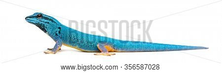 Side view of a Electric blue gecko, Lygodactylus williamsi, isolated