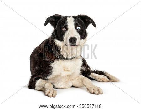 Lying black and white Border collie dog, isolated on white