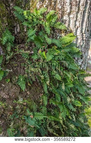A Closeup View Of Leafy Fern Fronds Growing On The Bark Of A Tree In The Woodlands On A Sunny Day In