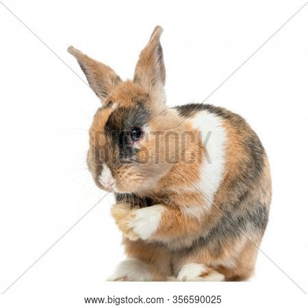 Multicolored Rabbit licking his paws, isolated on white