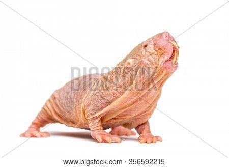 Naked Mole-rat, hairless rat, isolated on wihte