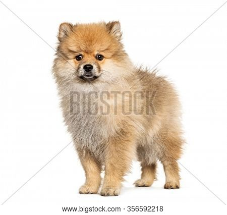 Standing Keeshond, isolated on white