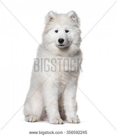 Sitting white Samoyed dog, isolated on white