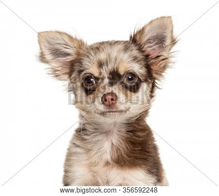 Headshot of a Chihuahua, isolated on white