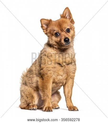 Brown Crossbreed dog, isolated on white