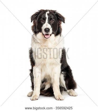 Sitting Australian Shepherd dog, isolated on white