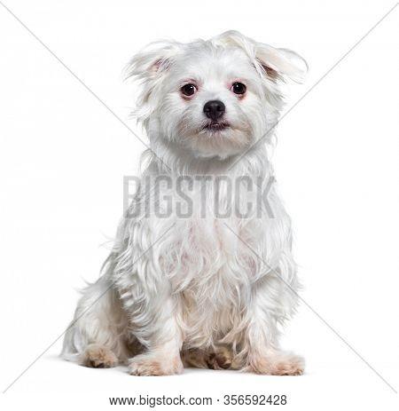 White Crossbreed dog, isolated on white