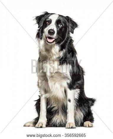 Panting black and white Border Collie, minnow eyes, isolated
