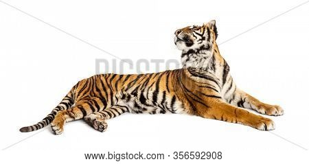 Tiger lying down, looking backward, big cat, isolated on white