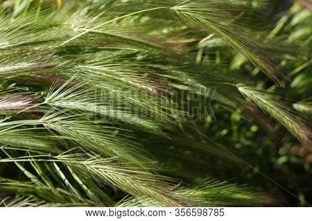 Closeup View Of Barley Spikelets Or Rye In Barley Field. Green Dried Barley Focused In Large Agricul