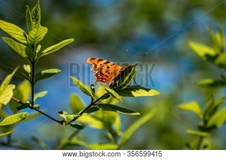 A  Comma Buterfly (polygonia C-album) With The First Sunrays Of Spring 2020
