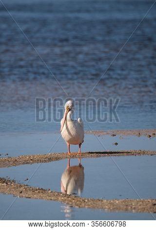 White Pelican Bird Pelecanus Erythrorhynchos In A Marsh