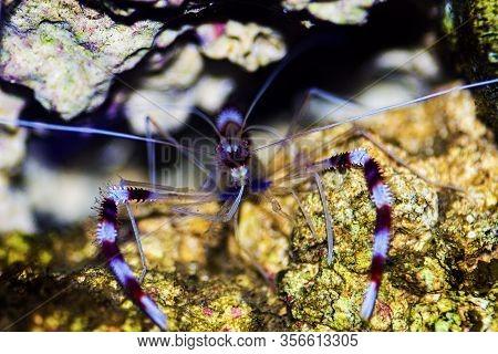 Boxer Banded Coral Saltwater Shrimp - Stenopus Hispidus