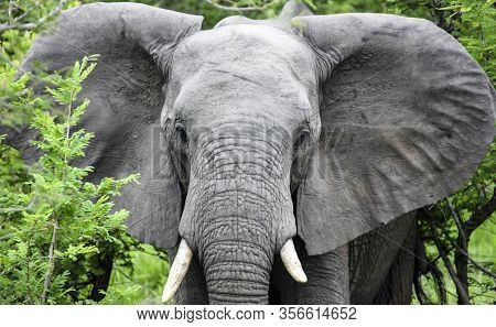 An Elephant With Open Ears Goes To The Camera. A Young Male African Elephant Moves In Acacia Bushes