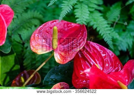 The Anthurium Is A Red Heart-shaped Flower. Dark Green Leaves As A Background Make The Flowers Stand