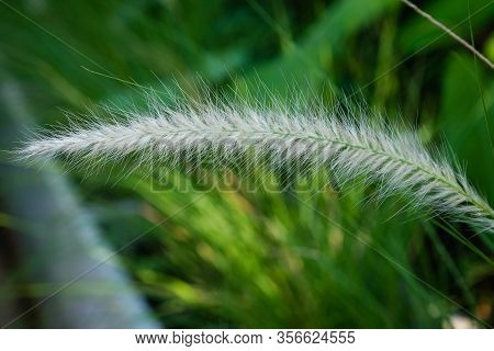The Communist Grass Flowers In Sunlight. Communist Grass Flower In Sunlight During Sunset, Bright Sh