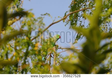 A Parrot Eating Jujube Fruit On Tree Branch, Parrot Bird,green Small Parrot On A Brank In The Green